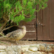 Female pheasant - Stockfoto