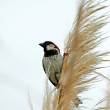 Finch on long grass — Stock Photo #5995789