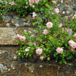 Pink roses on an old stone wall — Stock Photo