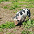 Spotted pig - Stock Photo