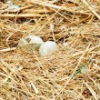 Hatching swan egg — Stock Photo