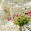 Wildflower growing on chalk cliff — Stock Photo