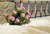 Viola margherita crescendo in roccia — Foto Stock