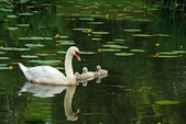 Mother swan with babies — Stock Photo