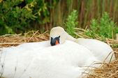 White swan on her nest — Stock Photo