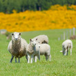 Sheep Grazing — Stock Photo #5535239