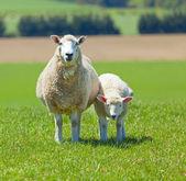 Sheep Grazing — Stock Photo