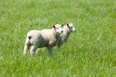 Fåren i gräset — Stockfoto