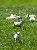 放牧绵羊 — 图库照片