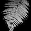 Silver Fern - Stok fotoraf