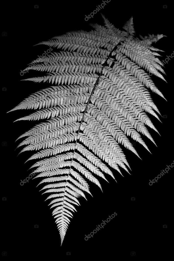 Black and White image of a fern in New Zealand isolated on black — Stock Photo #6393614