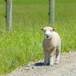 Lamb on the Lam — Stock Photo