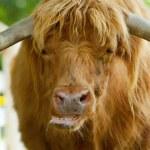 Постер, плакат: Scottish highlander ox
