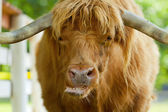 Scottish highlander ox — Stock Photo