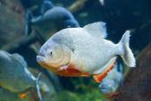 Röda piranha — Stockfoto
