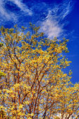 Ellow autumn oak tree on the hillside — Stock Photo