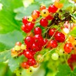 Red currants on the bush — Stok fotoğraf