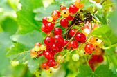 Red currants on the bush — Stock Photo