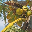 Palm tree with coconuts - Stockfoto