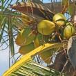 棕榈树与椰子 — 图库照片