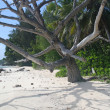 Dead tree on empty beach, La Digue, Seychelles - Stock Photo