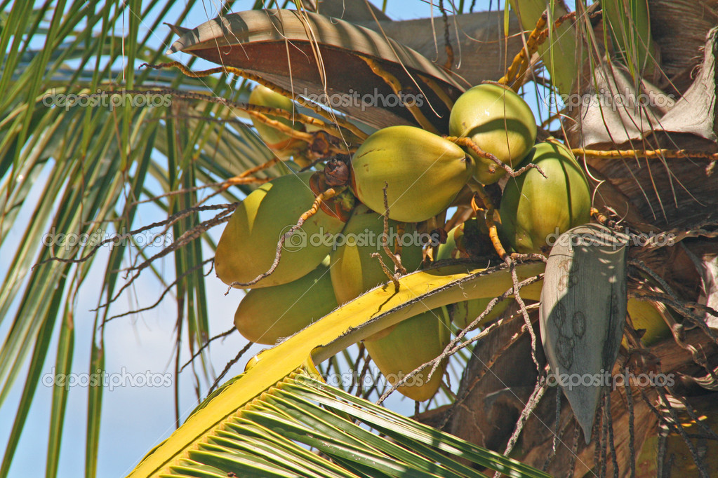 Close up of coconuts on a palm tree — Stock Photo #5562361