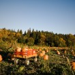 Pumpkins patch — Stock Photo