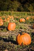 Pumpkins patch — Stock Photo