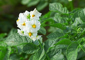 Flower of a blossoming potatoes — Stock Photo