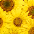 Beautiful yellow Sunflower background. - Stock Photo