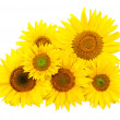 Beautiful yellow Sunflower background — Stock Photo