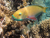 Parrotfishe — Fotografia Stock