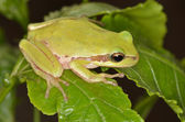 Frog amphibian — Stock Photo