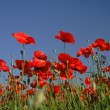 Red poppy flowers field and blue sky — Stock Photo