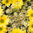 Yellow and white flowers — Stockfoto