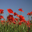 Poppy flower field — Stock Photo