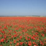 champ de la fleur de coquelicot rouge — Photo #5528636