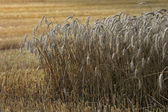 金玉米 — 图库照片