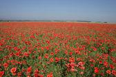 Poppy flower field — Stock Photo