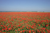 Red poppy flower field — Stock Photo