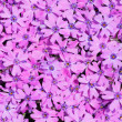 Violet flowers — Stock Photo #5532474