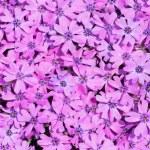 Violet flowers — Stock Photo