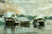 Small turtles — Stock Photo