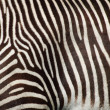 Zebra texture — Stock Photo #5604473