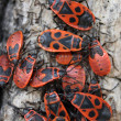 ������, ������: Red bugs