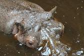 Hippo kafa — Stok fotoğraf