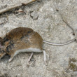 Dead mouse — Stock Photo