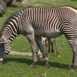 Zebra in the grass - Stock Photo