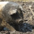 Farm pig — Stock Photo