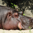Small hippo — Stock Photo
